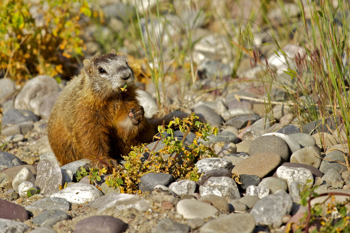 Marmots - Large Squirrels at Yellowstone